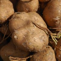 Jicama: η νέα σούπερ-τροφή;